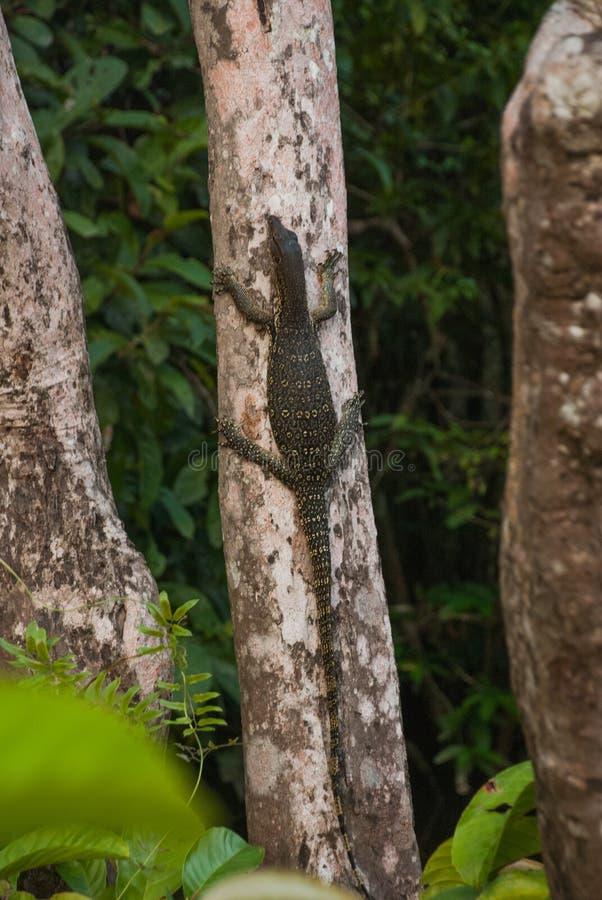 马来西亚在狂放的varan大蜥蜴 狂放的东南亚植物群和动物区系  自治市镇 免版税库存照片