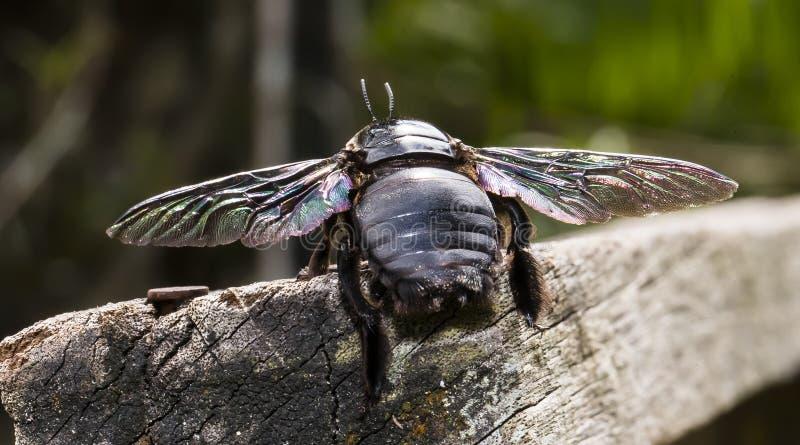 马来西亚黑色蜜蜂 库存照片