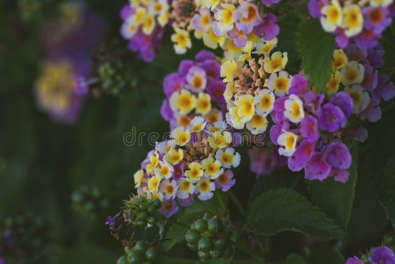 马樱丹属与季节性花的camara shurb在庭院里 免版税库存照片