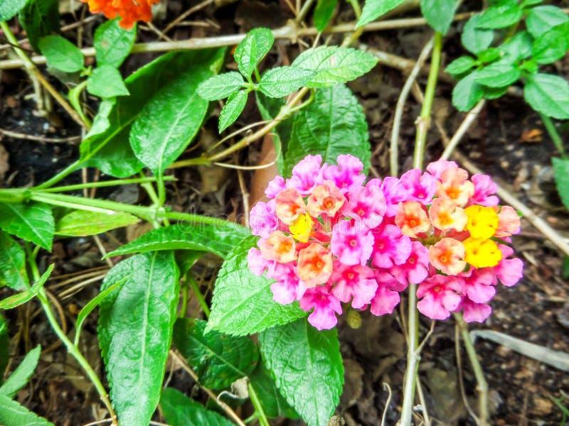 马樱丹属混合五颜六色的秀丽橙黄色桃红色开花绽放 库存图片