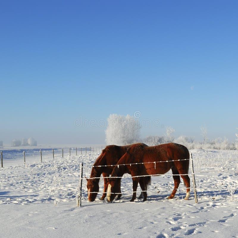 马牧场地冬天 库存图片