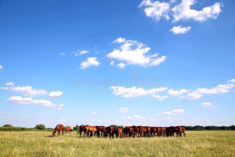 马牧群全景在夏天牧场地的 图库摄影