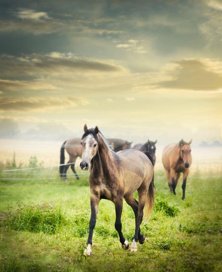 马牧群在夏天牧场地的在美丽的黎明天空 免版税图库摄影