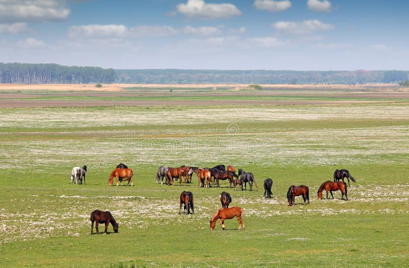 马牧群在领域风景春天 免版税库存图片