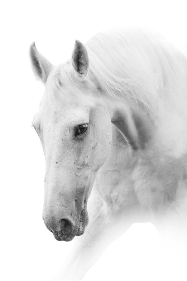 马白色 免版税图库摄影