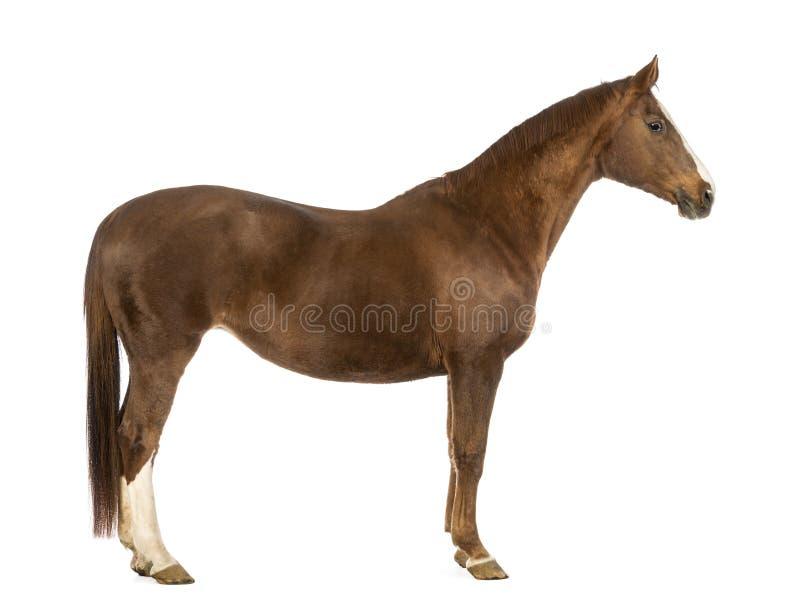 马的侧视图 免版税库存照片