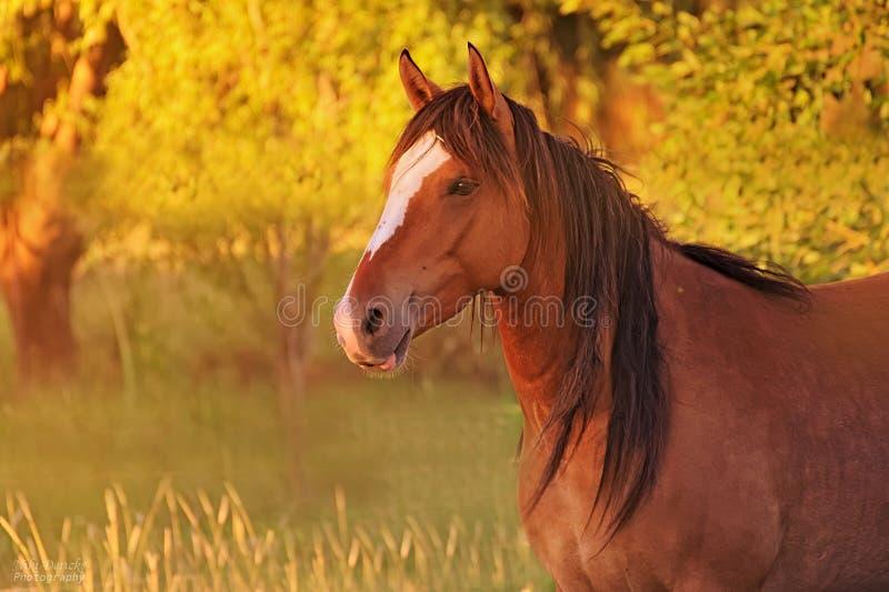 马的画象在一个领域释放在阿根廷 库存照片