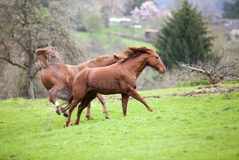 马短距离冲刺的马跑自由在草甸和踢另一匹马 库存照片
