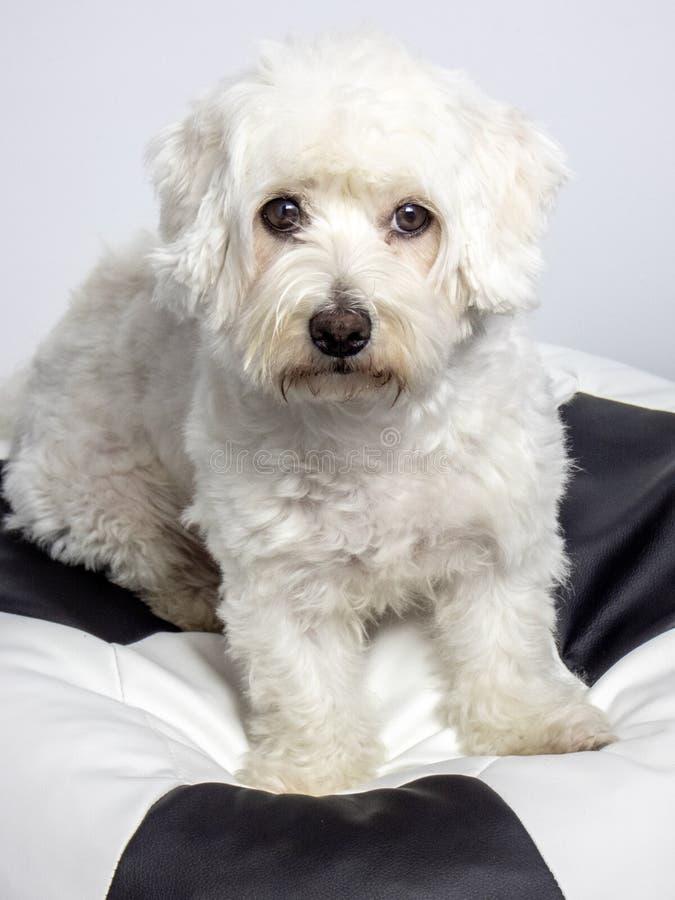 马耳他狗坐巨型足球 免版税图库摄影