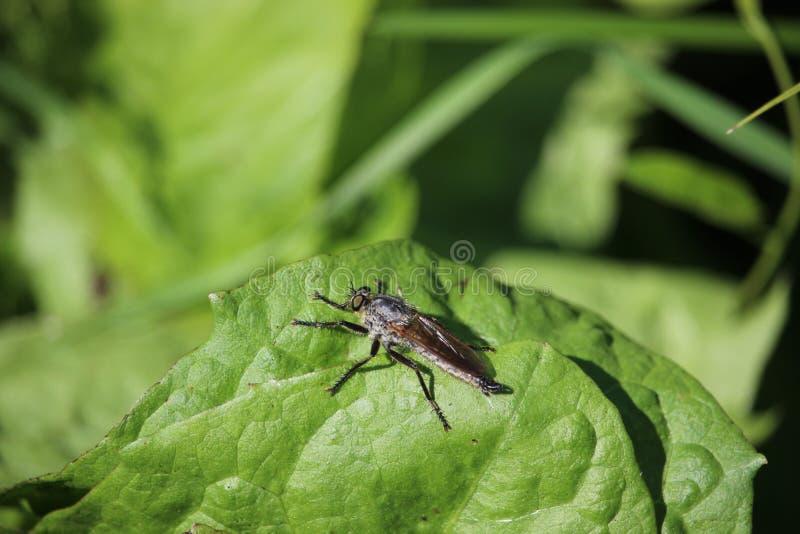 马蝇坐一片叶子在草甸 库存照片