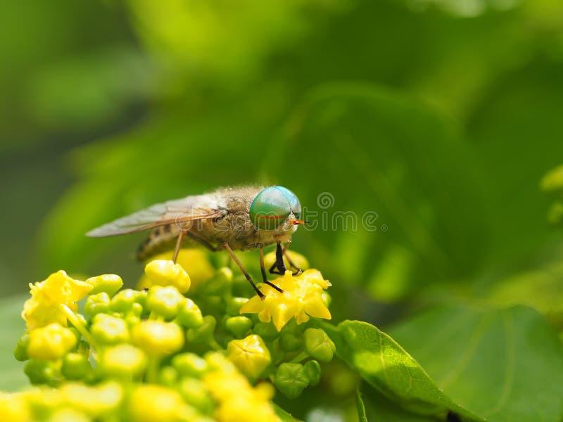 马蝇拉特 在黄色花的马蝇 免版税库存图片