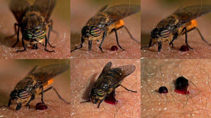 马蝇,是充分和满意的马蝇 库存照片
