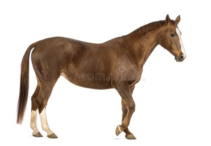 马走的侧视图 免版税库存照片