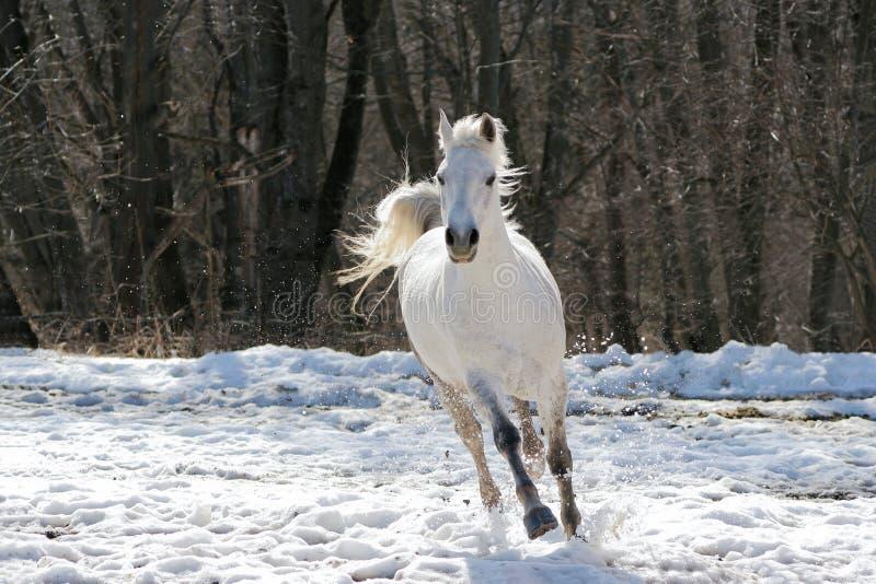 马跳过的白色 免版税图库摄影