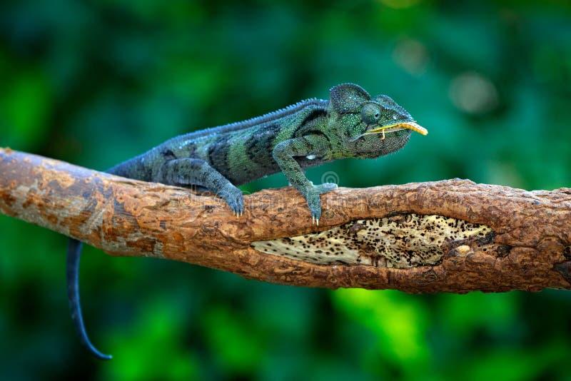 马达加斯加人的巨型变色蜥蜴, Furcifer oustaleti,坐分支在森林栖所 异乎寻常的beautifull地方性绿色爬行动物与 免版税库存图片