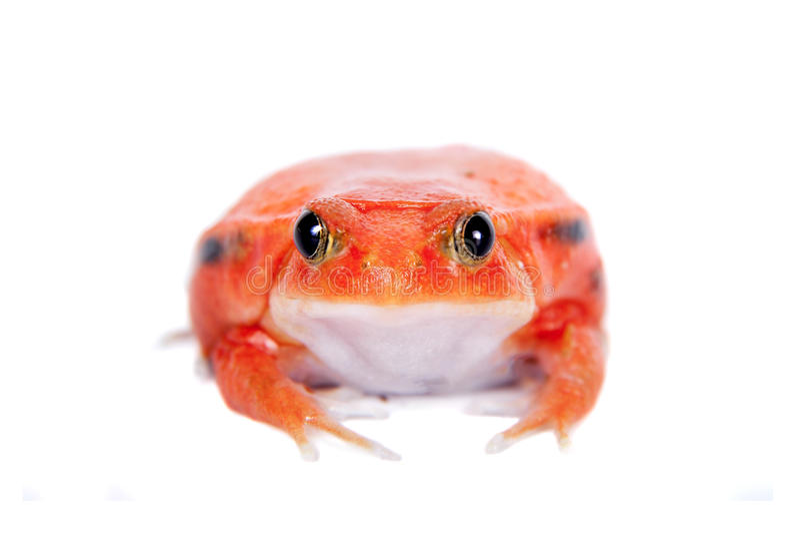 马达加斯加在白色隔绝的蕃茄青蛙 免版税库存图片