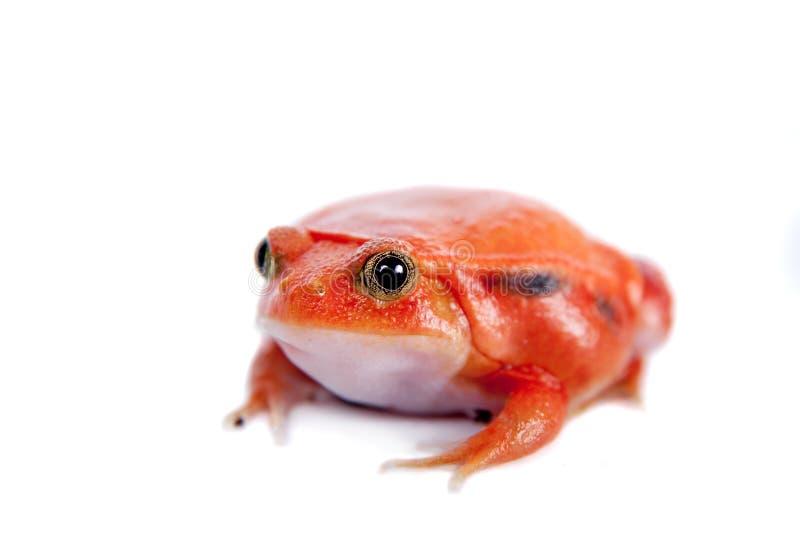 马达加斯加在白色隔绝的蕃茄青蛙 库存照片