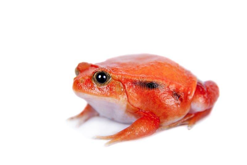 马达加斯加在白色隔绝的蕃茄青蛙 库存图片