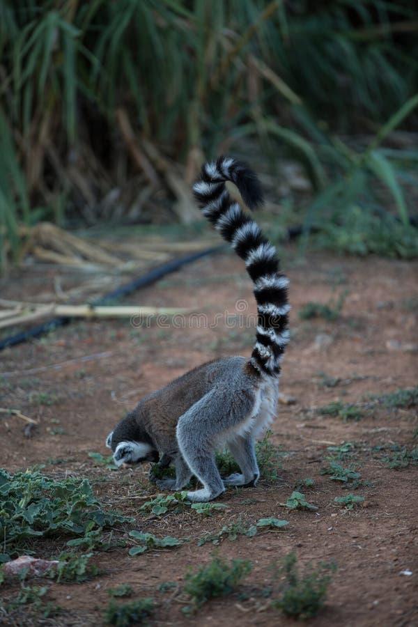 马达加斯加狐猴 免版税图库摄影