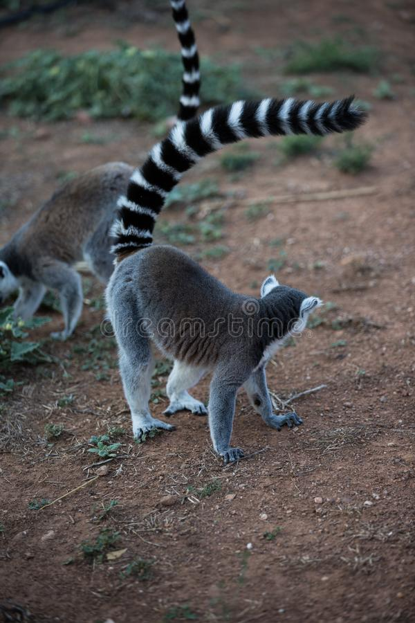 马达加斯加狐猴 库存图片
