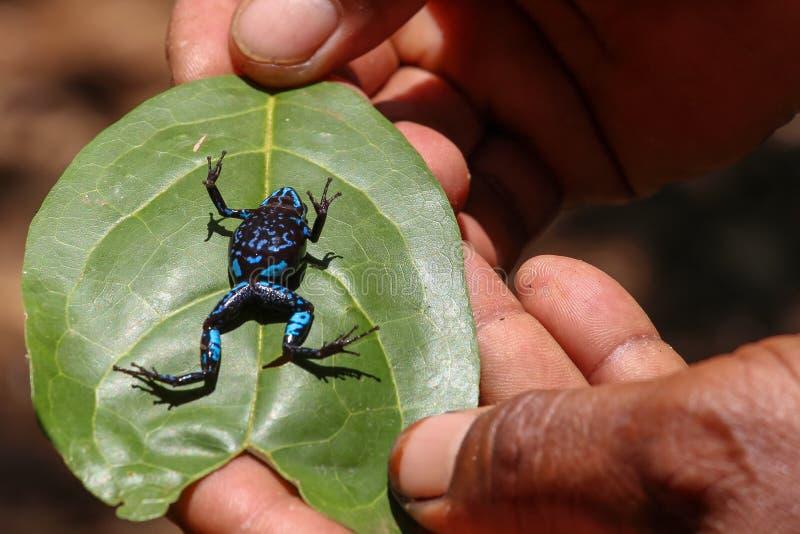 马达加斯加的五颜六色的青蛙 库存图片