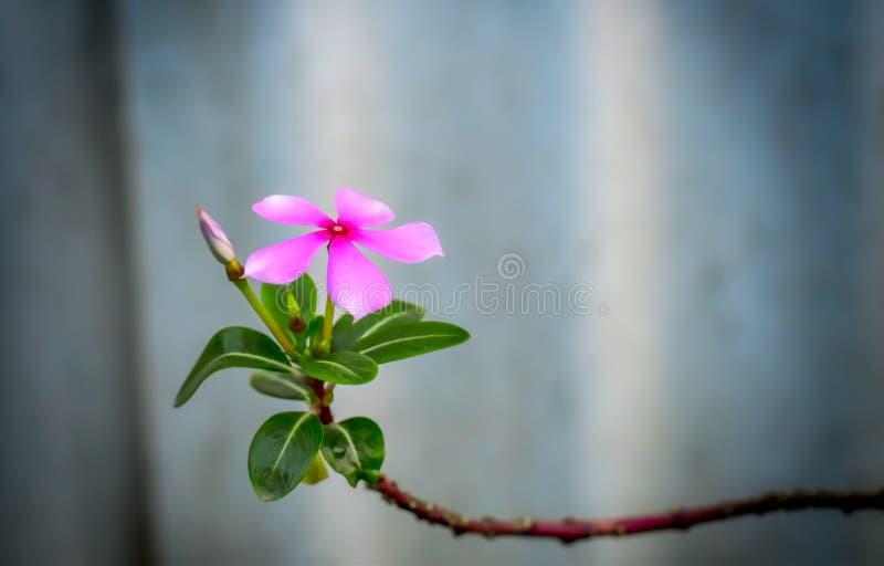 马达加斯加荔枝螺、玫瑰色荔枝螺或者玫瑰色荔枝螺, Nayantara花 图库摄影