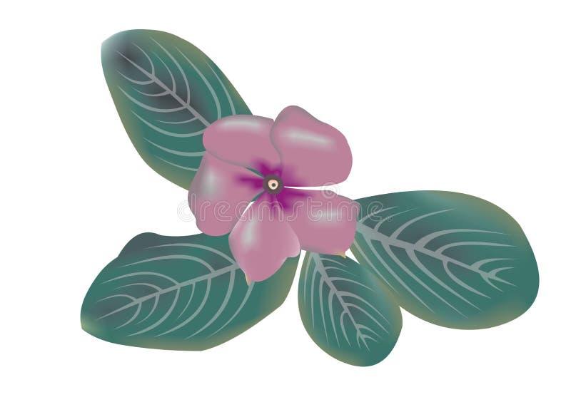 马达加斯加荔枝螺长春花属roseus的例证 库存例证
