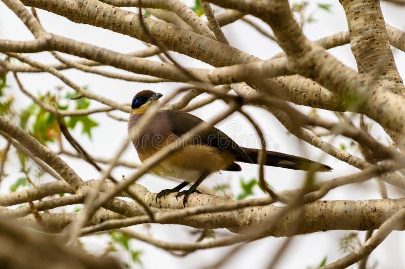 马达加斯加,非洲的鸟 免版税图库摄影
