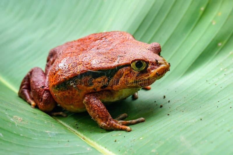 马达加斯加-基于绿色叶子的蕃茄青蛙- Dyscophus antongilii,关闭照片 免版税库存图片