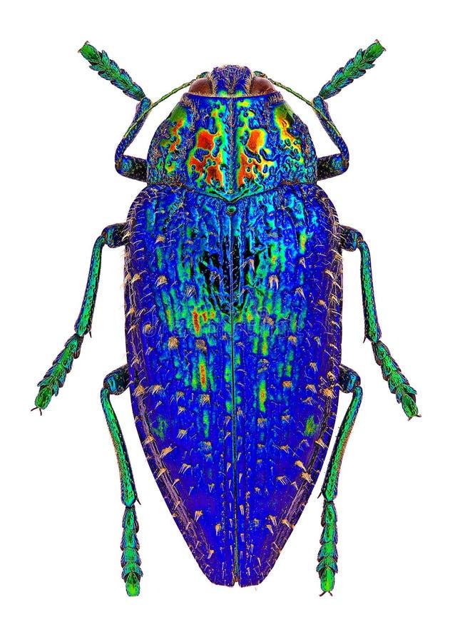 从马达加斯加(Polybothris sumptuosa盖马)的蓝色珠宝甲虫 图库摄影