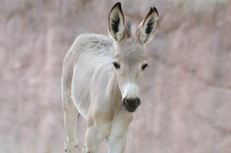 索马里野驴婴孩 库存照片