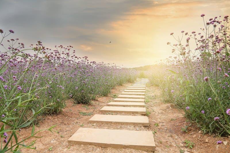 马鞭草属植物领域 免版税库存图片