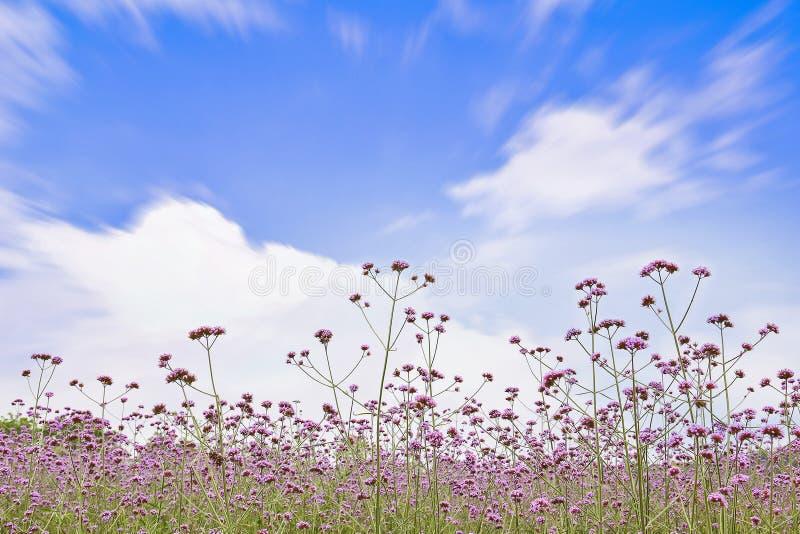 马鞭草属植物领域 免版税图库摄影