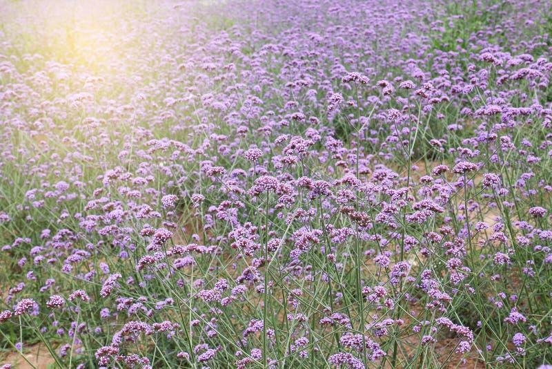 马鞭草属植物领域 免版税库存照片
