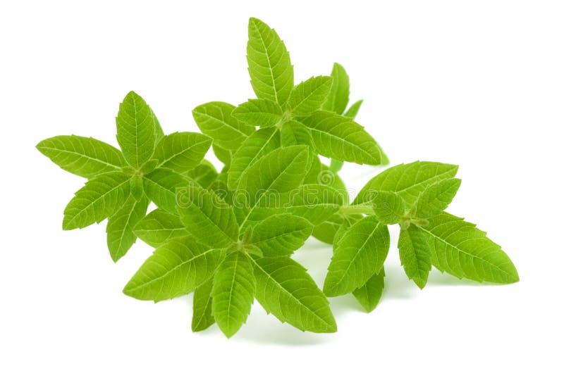 马鞭草属植物 免版税库存图片