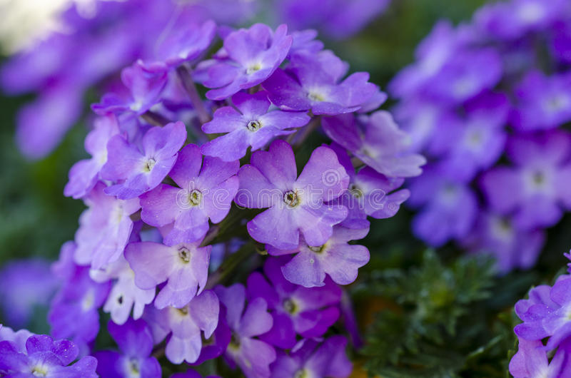 马鞭草属植物 图库摄影