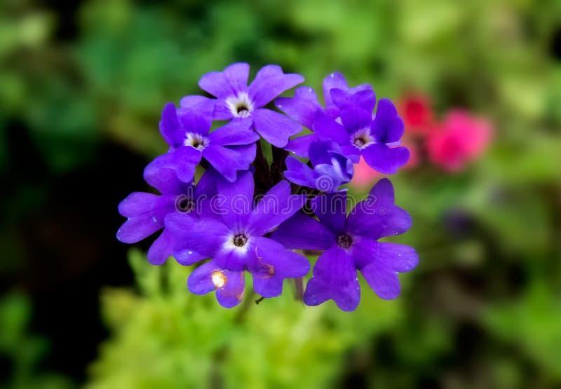 马鞭草属植物/Barbena紫色花有绿色背景 免版税库存图片