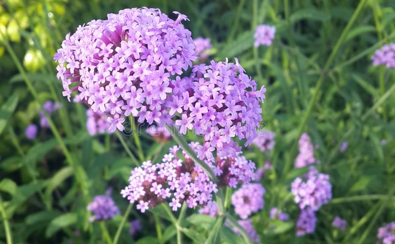 马鞭草属植物Bonariensis 库存图片