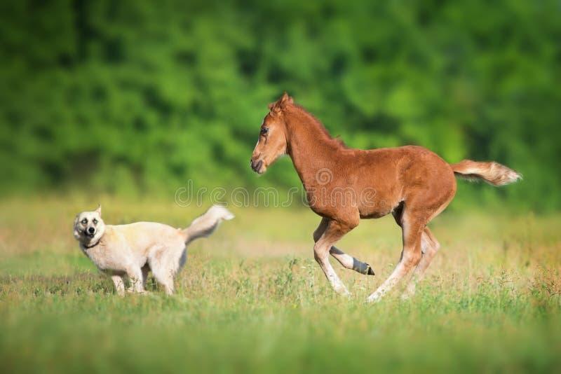 马驹和狗 免版税库存图片