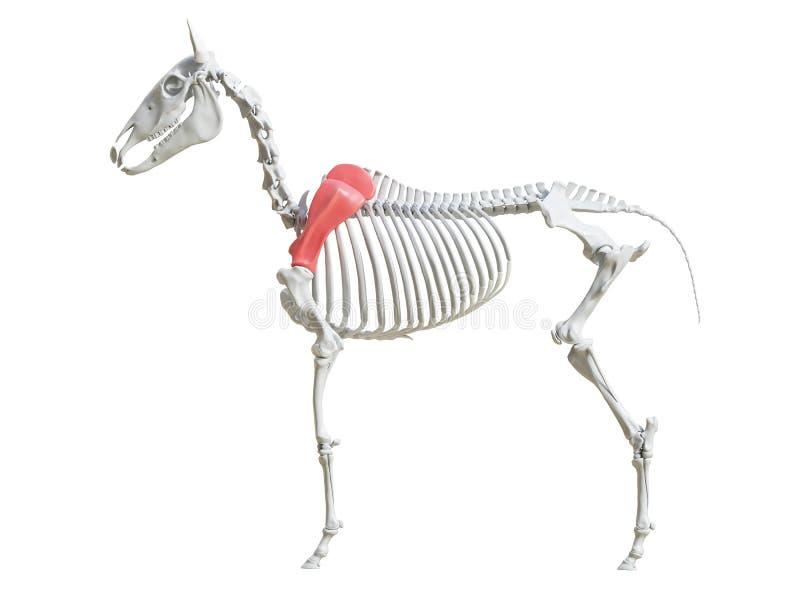 马骨骼-肩胛骨 皇族释放例证