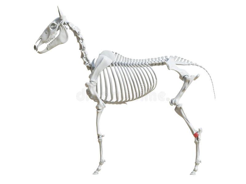 马骨骼-距骨 皇族释放例证