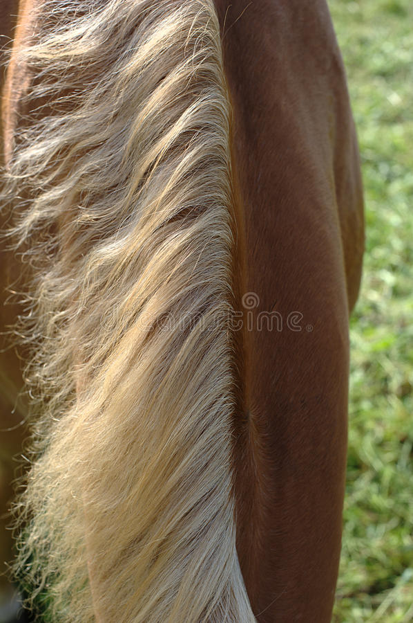 马鬃毛脖子 免版税库存图片