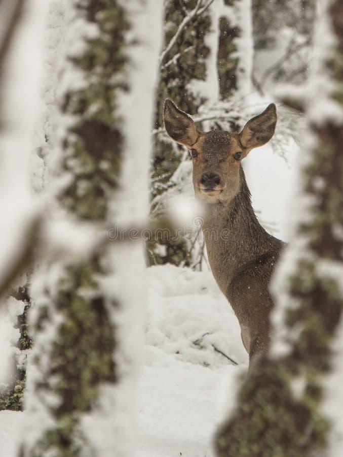 马鹿在冬天 库存照片