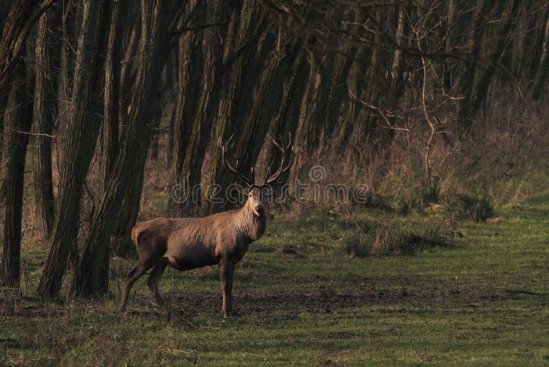 马鹿雄鹿在森林里 免版税图库摄影