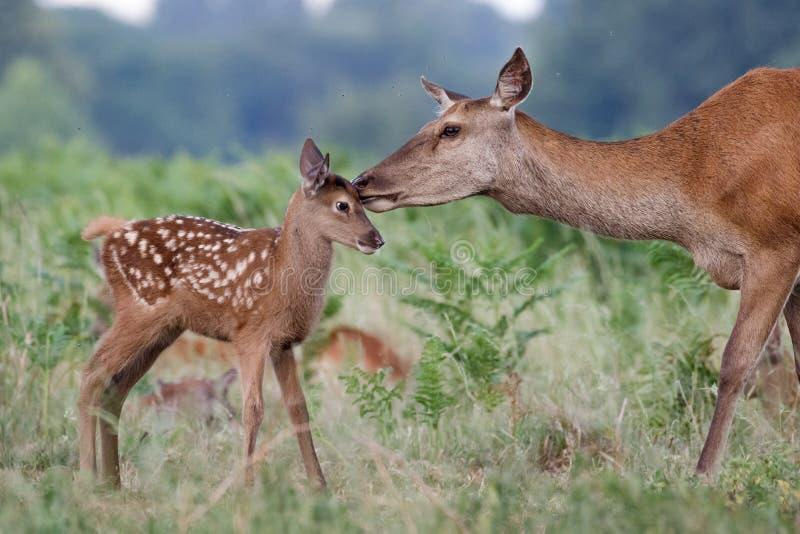 马鹿鹿elaphus女性后面母亲和幼小小小牛 库存图片