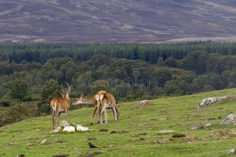 马鹿hinds,鹿elaphus scoticus,吃草在与杉木森林的草在背景中在9月期间在cairngorms国家 免版税库存照片