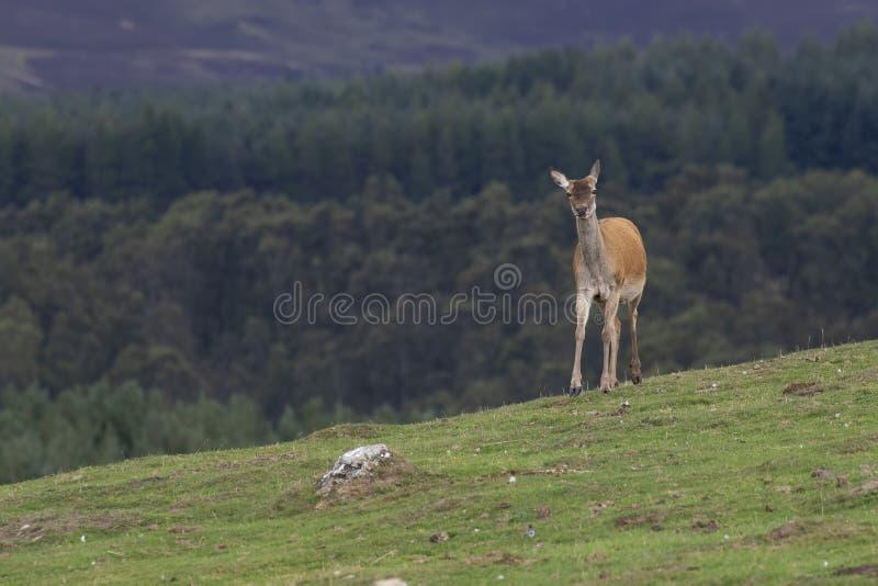 马鹿hinds,鹿elaphus scoticus,吃草在与杉木森林的草在背景中在9月期间在cairngorms国家 库存图片