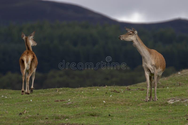马鹿hinds,鹿elaphus scoticus,吃草在与杉木森林的草在背景中在9月期间在cairngorms国家 库存照片