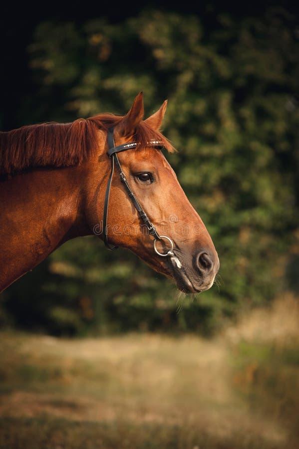 马画象在夏天 免版税库存照片