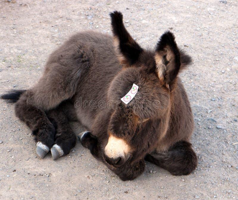 驮货驴子为红萝卜是太新的 免版税图库摄影